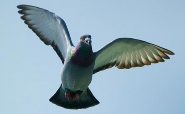 How Do Homing Pigeons Navigate?