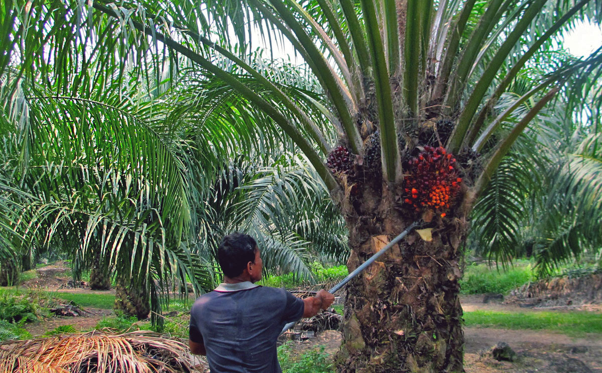 Palm Oil Facts and Fiction