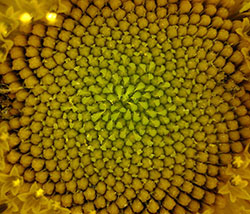 Fibonacci spirals in a sunflower
